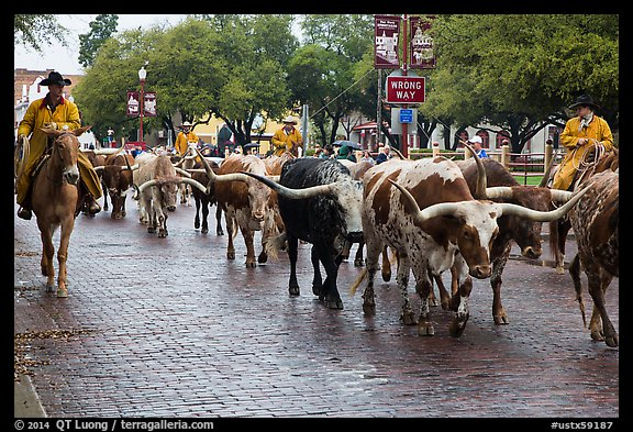 Cowboys drive Longhorn cattle herd through Stockyards street. Fort Worth, Texas, USA (color)