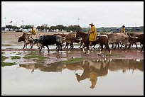 Cowboys and cattle reflected in a water puddle. Fort Worth, Texas, USA ( color)