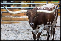 Texas Longhorn. Fort Worth, Texas, USA ( color)