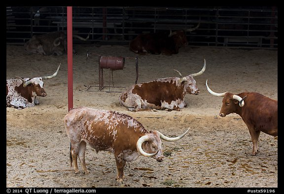Texas Longhorn herd. Fort Worth, Texas, USA (color)