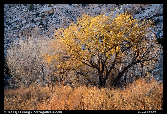Cottonwood trees and cliff in autumn. Grand Staircase Escalante National Monument, Utah, USA (color)