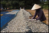 Woman sorting dried fish. Phu Quoc Island, Vietnam (color)