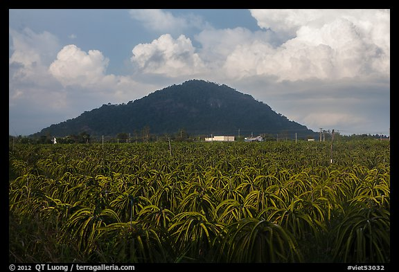Dragon fruit field and hill south of Phan Thiet. Vietnam (color)