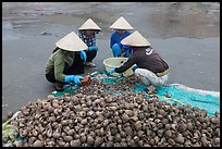 Women crushing shells to extract eddible part. Mui Ne, Vietnam ( color)