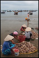 Women process scallops on beach harbor. Mui Ne, Vietnam ( color)