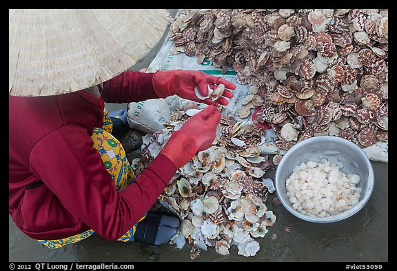 Woman extracting meat from scallops. Mui Ne, Vietnam (color)