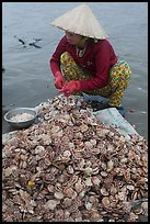 Woman opening scallops. Mui Ne, Vietnam ( color)