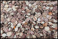Scallops. Mui Ne, Vietnam ( color)