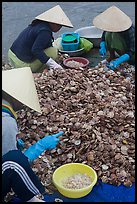 Processing fresh scallops by hand on the beach. Mui Ne, Vietnam ( color)