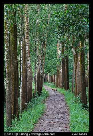 Path in forest with dog. My Son, Vietnam (color)