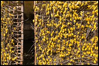 Grids with cocoons of silkworms (Bombyx mori). Hoi An, Vietnam (color)