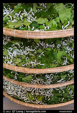 Trays of silkworms. Hoi An, Vietnam (color)