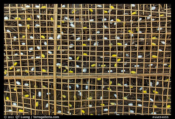 Grid with ellow and white silkworm cocoons. Hoi An, Vietnam