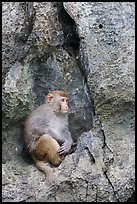 Monkey on cliff. Halong Bay, Vietnam ( color)