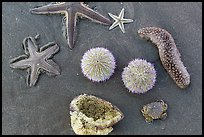 Close-up of sea star, sea anemone, sea urchin, and sea cucumber. Mui Ne, Vietnam ( color)
