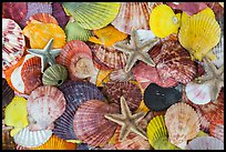 Multicolored sea shells. Mui Ne, Vietnam ( color)