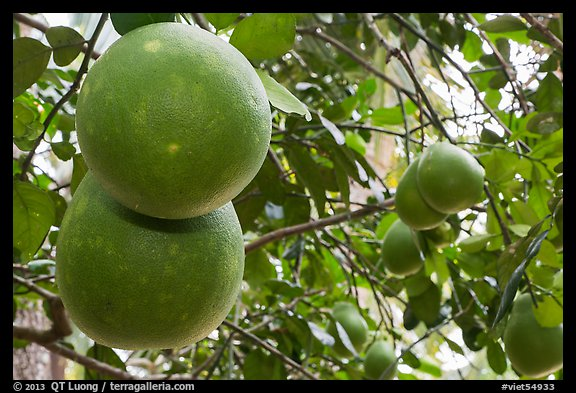 Grapefruit on tree. Ben Tre, Vietnam (color)