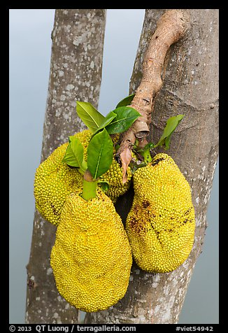 Jackfruit on tree. My Tho, Vietnam (color)