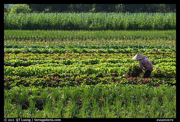 Woman in field of vegetables. Tra Vinh, Vietnam (color)