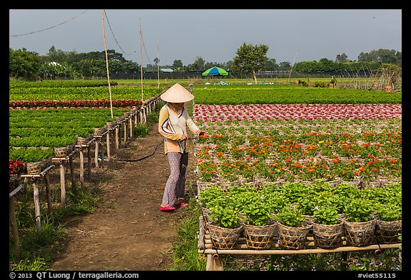 Woman caring for flowers in nursery. Sa Dec, Vietnam (color)