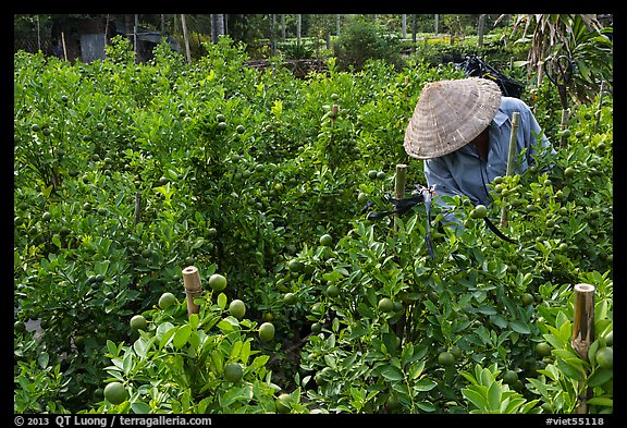 Man working in fruit orchard. Sa Dec, Vietnam (color)