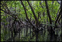 Mangrove forest, Bay Canh Island, Con Dao National Park. Con Dao Islands, Vietnam ( color)