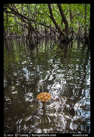 Floating fruit and mangroves, Bay Canh Island, Con Dao National Park. Con Dao Islands, Vietnam (color)