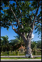 Old tree and colonial-area house, Con Son. Con Dao Islands, Vietnam ( color)