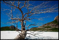 Tree skeleton and sands, Ben Dam. Con Dao Islands, Vietnam ( color)
