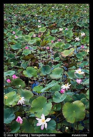 Flowering lotus. Con Dao Islands, Vietnam (color)