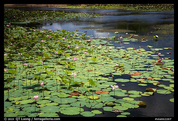 Pond with flowering lotus. Con Dao Islands, Vietnam (color)