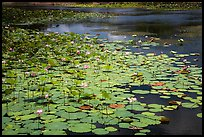 Pond with flowering lotus. Con Dao Islands, Vietnam ( color)