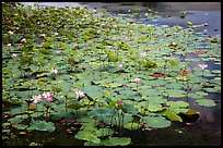 Lotus with flowers. Con Dao Islands, Vietnam ( color)