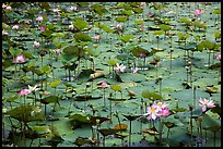 Carpet of lotus flowers. Con Dao Islands, Vietnam ( color)