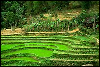 Rice terraces. Northeast Vietnam (color)
