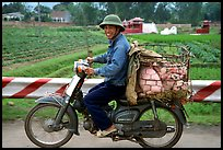 Motorcyclist carrying live pigs. Vietnam (color)