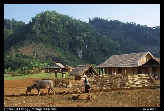 Plowing the fields with a water buffalo, near Tuan Giao. Northwest Vietnam (color)