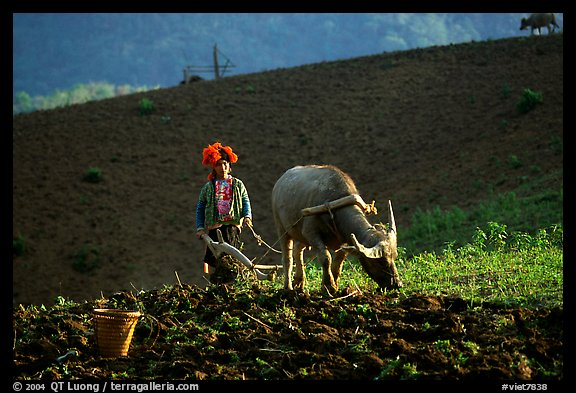 Dzao woman using a water buffao to plow a field, near Tuan Giao. Northwest Vietnam (color)