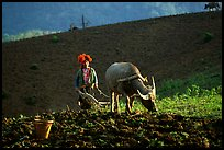 Dzao woman using a water buffao to plow a field, near Tuan Giao. Northwest Vietnam ( color)