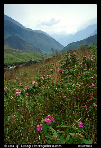Wildflowers and mountains in the Tram Ton Pass area. Northwest Vietnam (color)