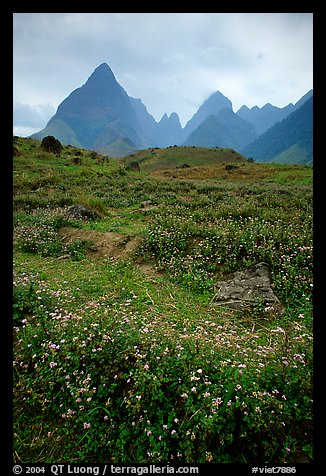 Wildflowers and peaks in the Tram Ton Pass area. Sapa, Vietnam (color)