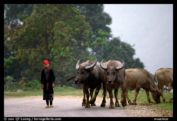 Boy keeping water buffaloes. Sapa, Vietnam (color)