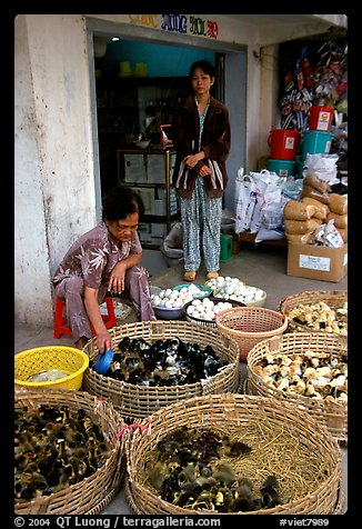 Chicks for sale. Cholon, Ho Chi Minh City, Vietnam (color)
