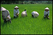 Labor-intensive rice cultivation. Ben Tre, Vietnam (color)