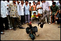 Rooster fight is a popular past time. Mekong Delta, Vietnam ( color)