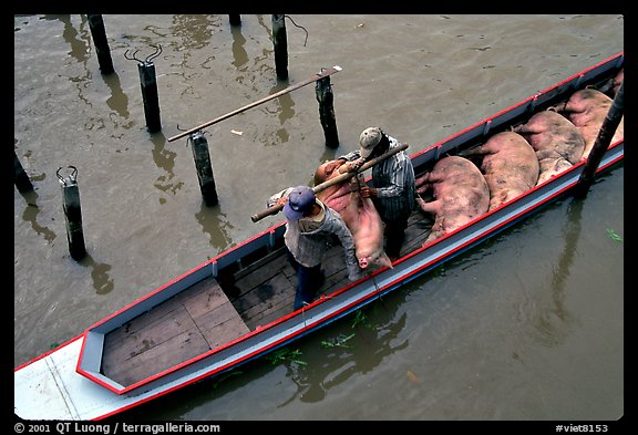 Transporting live pigs, near Phung Hiep. Can Tho, Vietnam (color)
