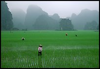 Villagers working in rice fields among karstic mountains of Tam Coc. Ninh Binh,  Vietnam (color)