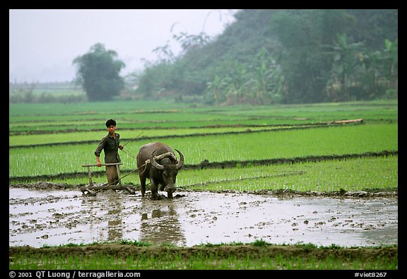 Working the rice field with a water buffalo in the mountains. Vietnam (color)