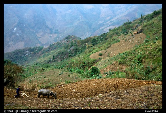 Working on a hill side with a water buffalo. Sapa, Vietnam (color)