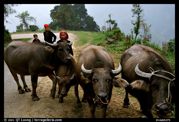 Water buffalo and mountain children. Sapa, Vietnam